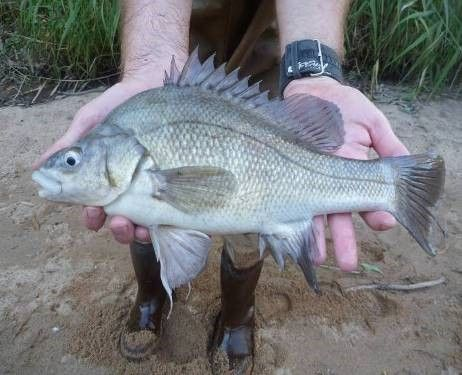 Macquarie Perch caught in Hollands Creek.  Photo J. Kearns