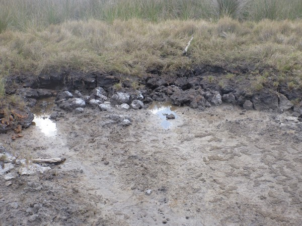 Severe erosion has occurred at this Coffs Harbour saltmarsh site as a result of vehicle damage. The high carbon content of the soil can clearly be seen in the colour difference between the dark brown mud of the saltmarsh soil contrasted with the light colour of the sand substratum