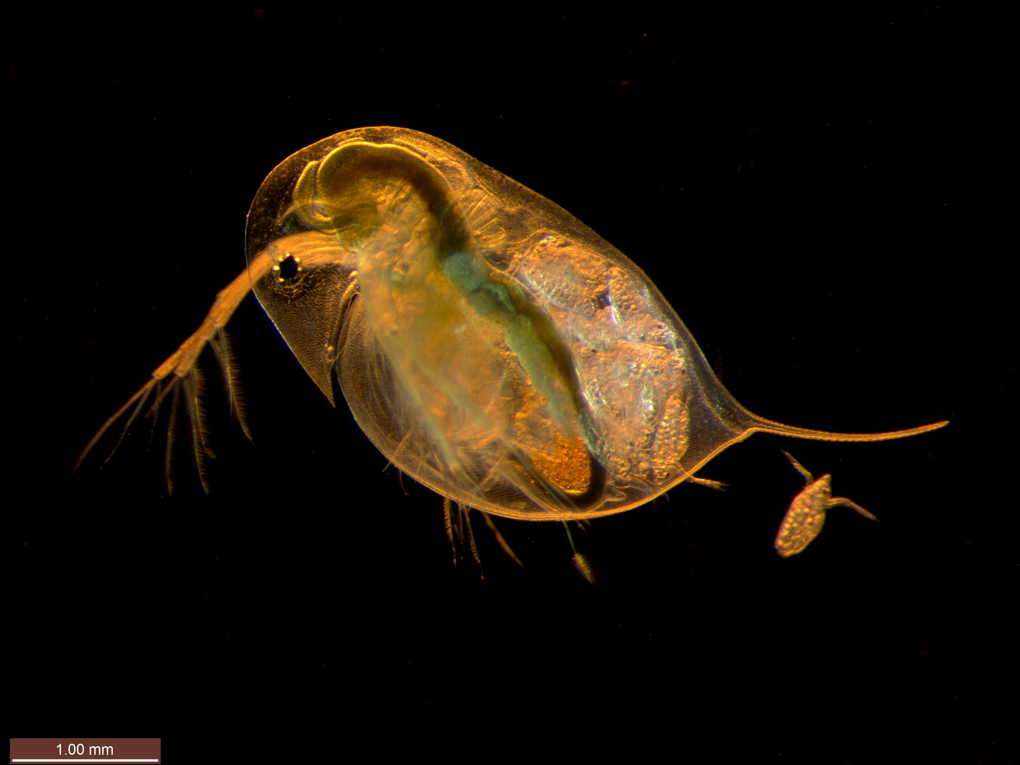 daphnia epinephrine After the epinephrine was diluted from the slide the average heart rate returned to an average of 78 beats in 15 seconds, with a decrease of 7% from the heart rate with epinephrine discussion after putting the daphnia in warm water the average heart rate increased by 12 5.