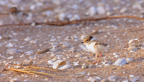 P9. Hooded Plover