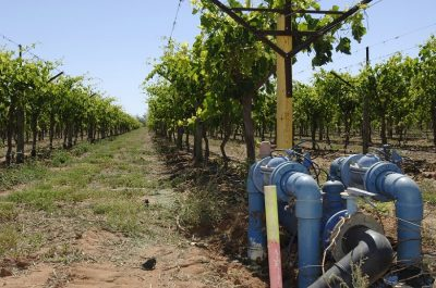 Drip irrigation on table grape vines, Moon Rock farms near St George QLD. Photo: Arthur Mostead
