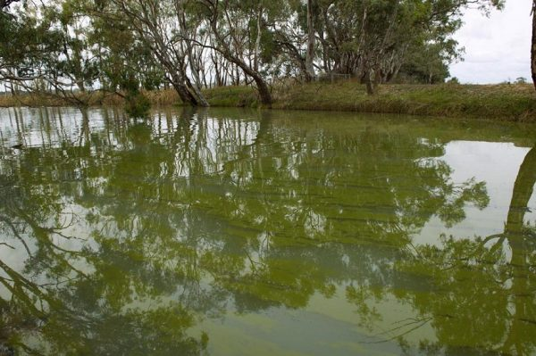 Algal blooms on Lodden river near Middle Lake. Photo by Arthur Mostead.